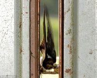 swallow_02