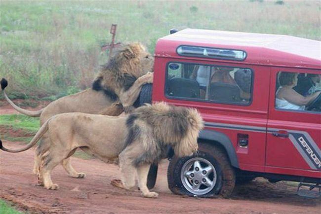 lion attacking car