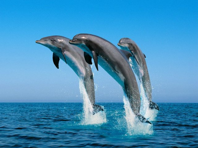 jumping dolphin wallpaper