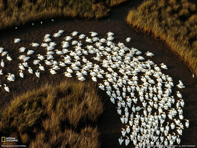 White Pelicans, Mississippi
