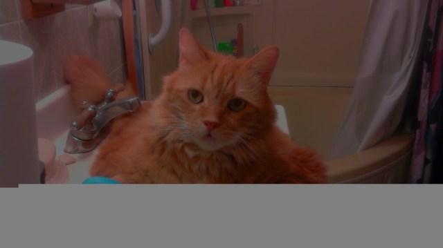 fat cat in a sink