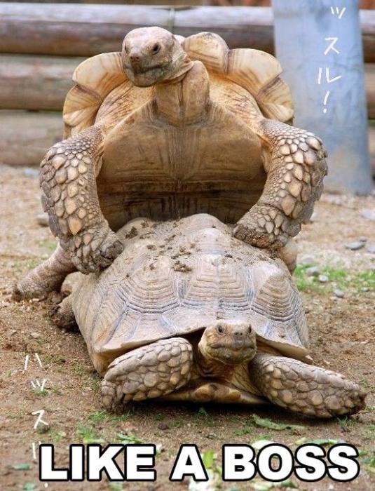 turtle fucking like a boss