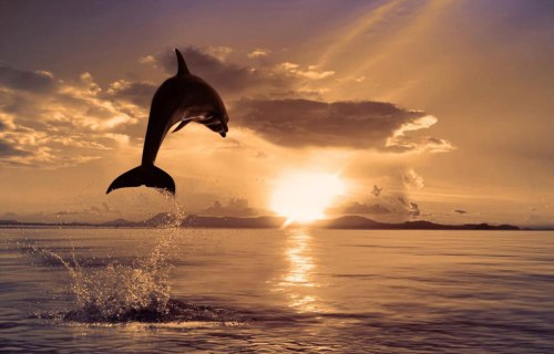 dolphin jumps into the sunset