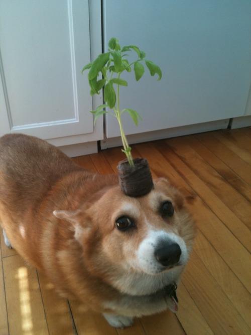corgi plant .jpg