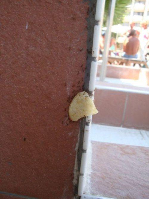ants lift chips.jpg