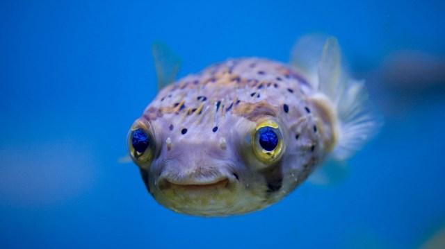 happy puffer fish.jpg