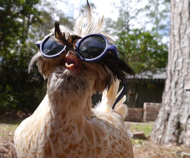 Chicken with sunglasses.jpg