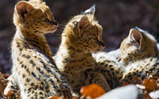 Ocelot Kittens.jpg