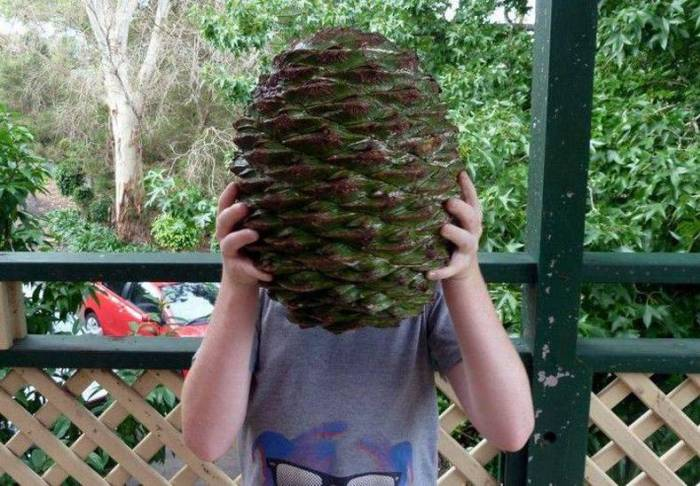 a large pine cone.jpg