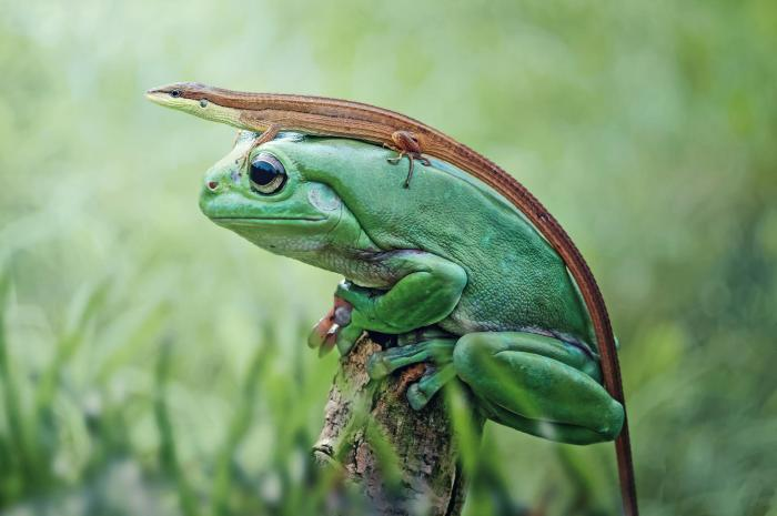 lizard riding a frog.jpg