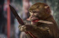 murder monkey.jpg