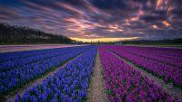 fields of blue and purple.jpg