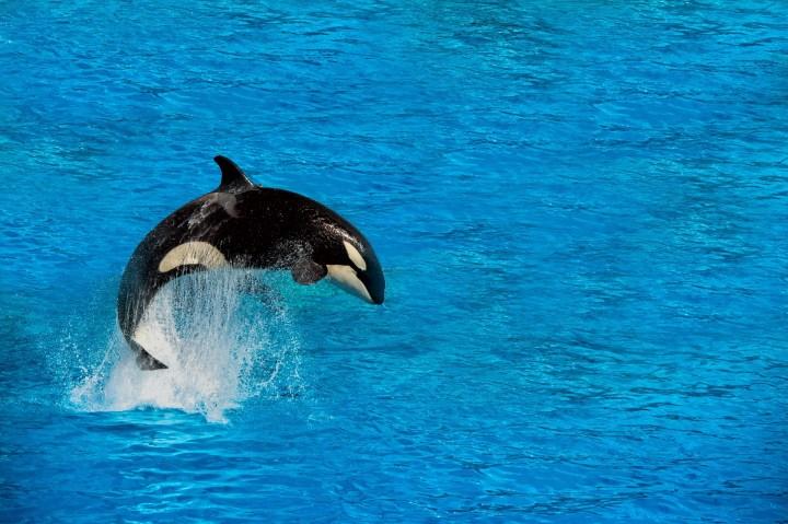 Jumping Orca.jpg
