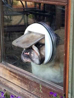dog in cat door.jpg