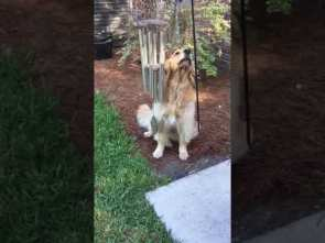 Dog Nudges Wind Chime With Head and Howls Creating a Lovely Tune – 1048583