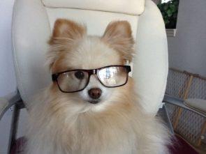 Scholarly Pomeranian