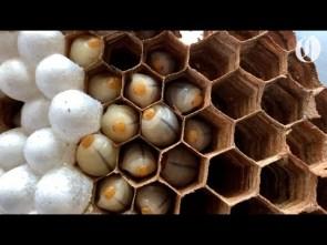 Asian giant hornet nest destroyed in Washington