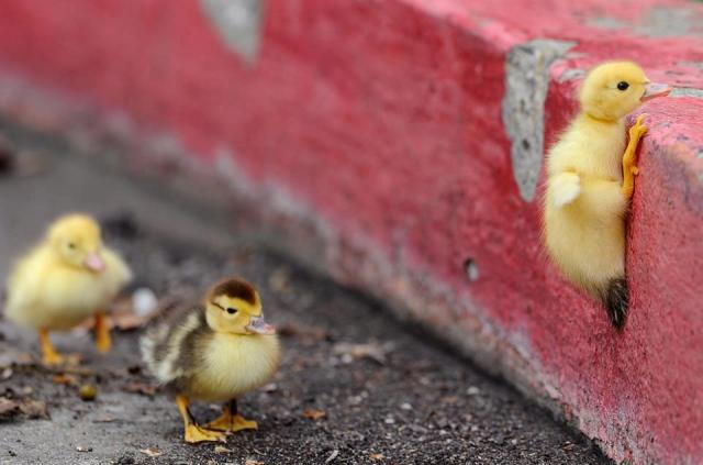 duck.jpg (65 KB)