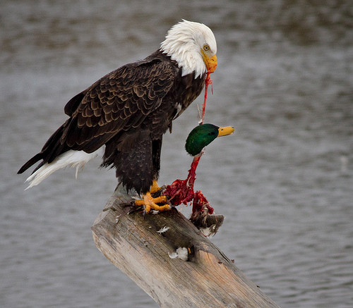america-duckyeah.jpg (152 KB)