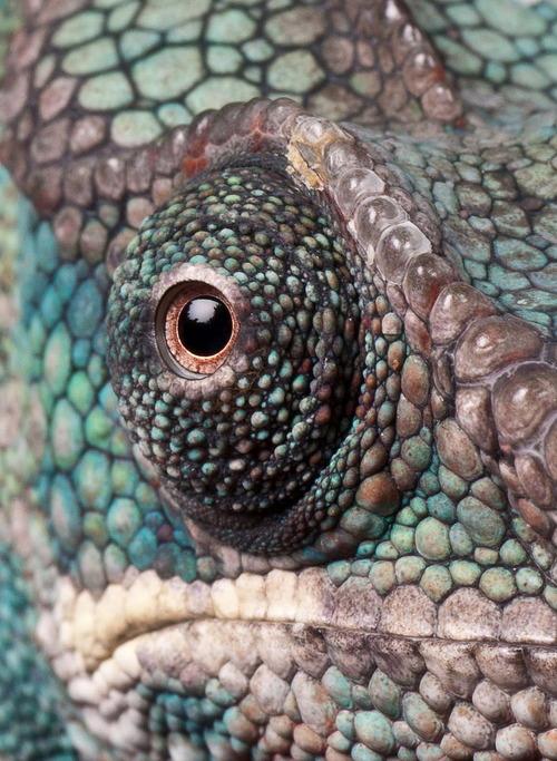 chameleon-eye.jpg (153 KB)