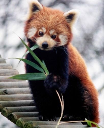 panda1.jpg (781 KB)