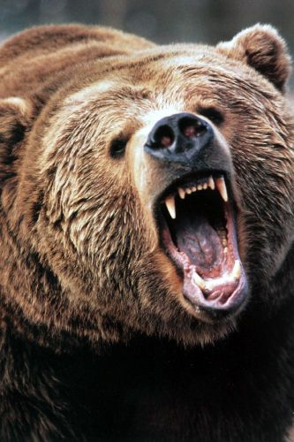 Angry-Grizzly-Bear.jpg (131 KB)