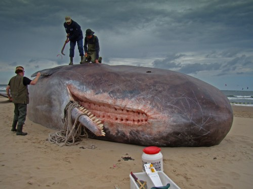 Dirk_Claesen_-_Sperm_Whale.jpg (3 MB)