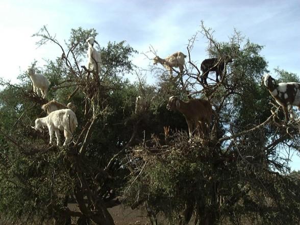 crazy_goats_13.jpg (95 KB)
