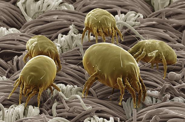 dust-mite-500-time.jpg (117 KB)