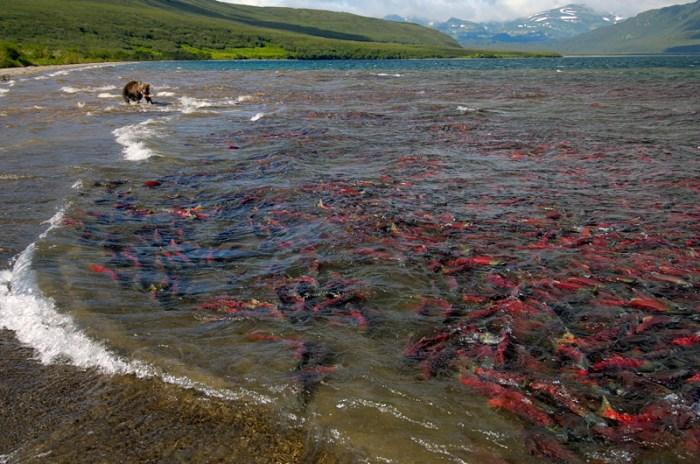 salmon1.jpg (299 KB)