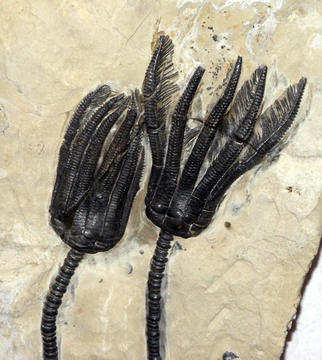 Fossile-seelilie.jpg (859 KB)