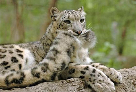 leopard-holds-tail.jpg (37 KB)