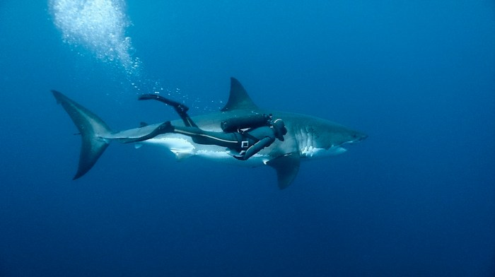 99_great_white_shark_guadalupe_island_mexique.jpg (242 KB)
