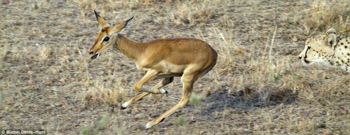 cheetahs_letting_tiny_antelope_go_04.jpg (53 KB)