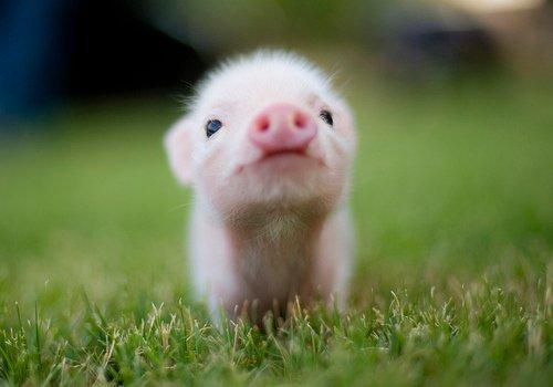 piggy_goes_oink_by_tt_soybean-d3abc7b.jpg (26 KB)