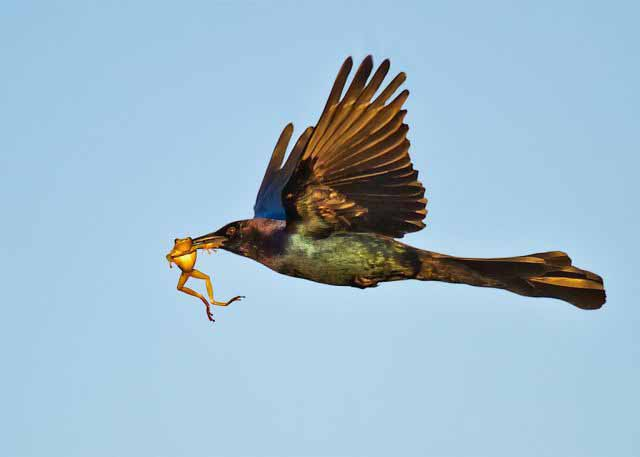 misc-bird-carrying-a-frog-in-its-mouth-just-along-for-the-ride.jpg (12 KB)