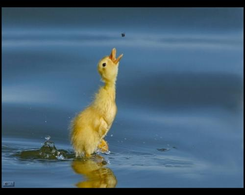 duckling.jpg (91 KB)
