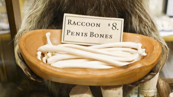 raccoon-penis-bones-8-evolution-store-new-york-city-soho-skull.jpg (209 KB)