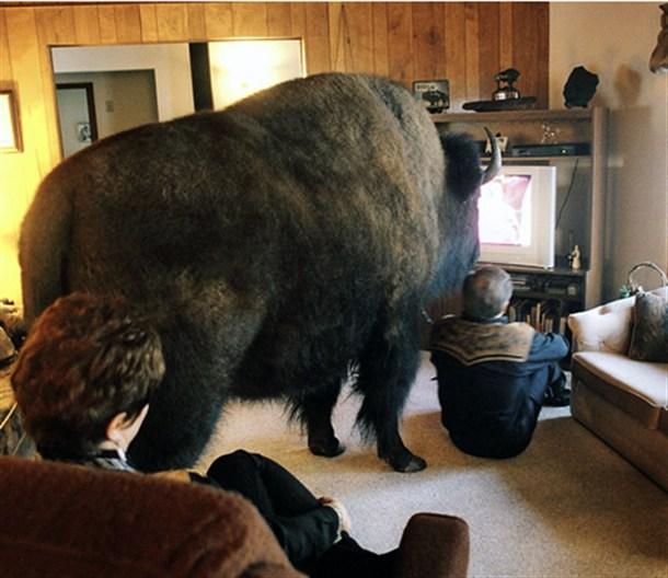 buffaloo.jpg (72 KB)