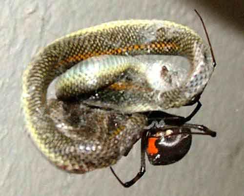 spider-catches-snake5.jpg (15 KB)
