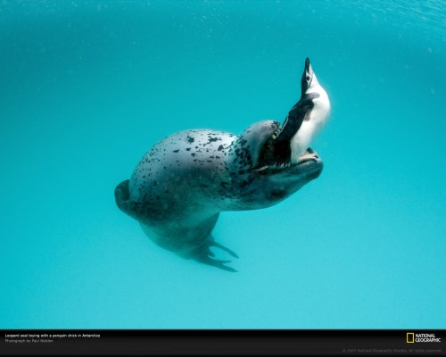 leopard-seal-with-penguin-1045588-xl.jpg (349 KB)