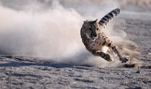 cheetah.jpg (143 KB)