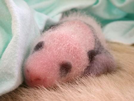 Panda 4.jpg (34 KB)