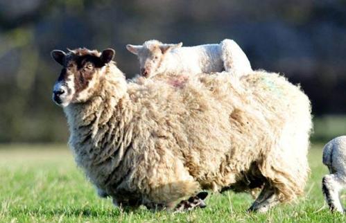 Sheep-Olympics_1373627i.jpg (45 KB)