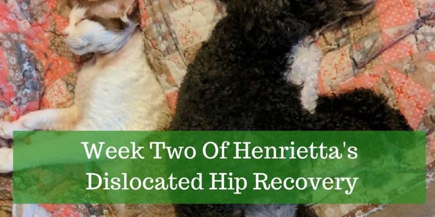 caring for poodle with hip injury