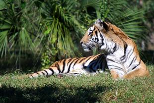Maharajah_Jungle_Trek_Tiger_Sun_101_310