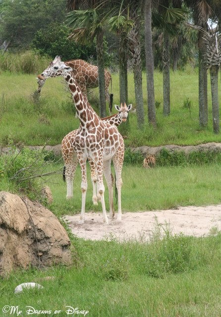 I love Giraffes!  Look at the one right behind the first one -- he looks like he's grinning!