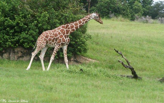 Heading to Animal Kingdom Park, take a ride on Kilamanjaro Safari's to get your green!