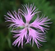 なでしこ-Dianthus_superbus_var._longicalycinus_in_Mount_Ibuki_2011-08-28