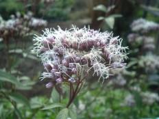 ふじばかま-Eupatorium_japonicum_flower